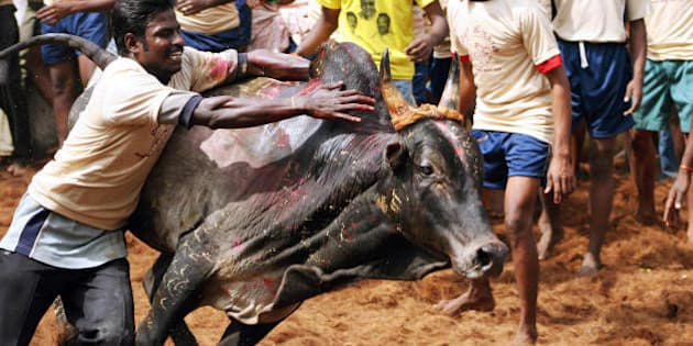 Palemedu, INDIA:  An Indian youth attempts to tame a bull during the annual Jallikattu bull-taming festival in Palemedu, some 25 km from Madurai, south of India's southern state of Tamil Nadu, 17 January 2007.   AFP PHOTO  (Photo credit should read STRDEL/AFP/Getty Images)