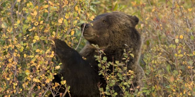 'In the fall, a female grizzly bear eats chokecherries from bushes in the Grand Tetons National Park. According to park rangers she is a 2.5 year old female offspring of female bear #399.'