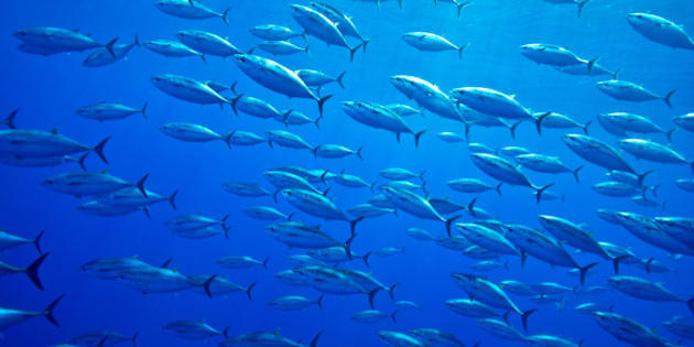 ATLANTIC BLUEFIN TUNA, Thunnus thynnus, Scombridae, school of juveniles, The Azores, Atlantic Ocean