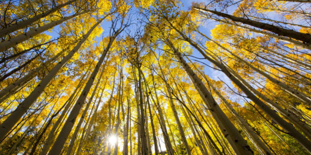 Aspen trees changing colors in the fall