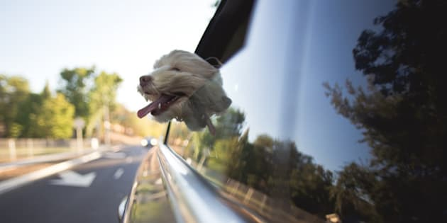 A cockapoo dog is riding in a car with it's head out the window. It's mouth is open and tongue is hanging out.  It's fur is blowing in the wind.