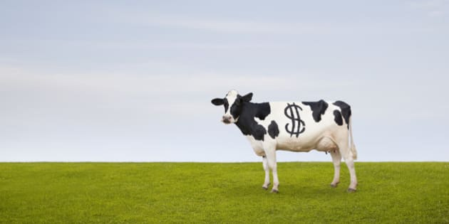 A Holstein Dairy cow with spots in the shape of a dollar sign stands in a pasture.