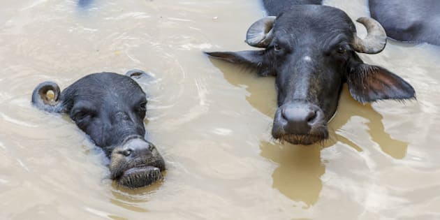 The water buffalo or domestic Asian water buffalo (Bubalus bubalis) is a large buffalo found on the Indian subcontinent. Water buffaloes were domesticated in India some 5000 years ago.