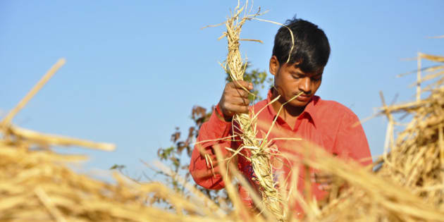Indian boy working wearing red shirt in the rice field on a sunny day...