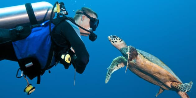 MR male diver (age 27) encounter with a young and curious hawksbill turtle (Eretmochelys imbricata).  Palau Islands, Micronesia.