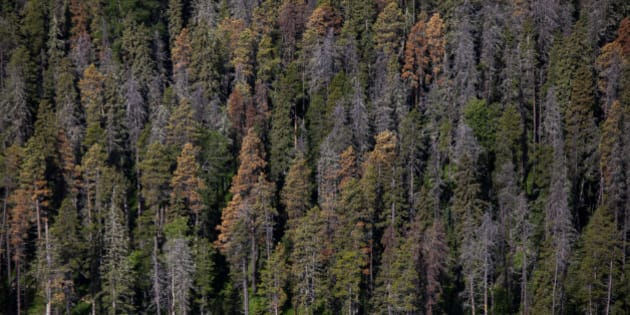 Dead and dying pine trees, infested by mountain pine beetles, stand in this aerial photograph taken above a forest near Whitecourt, Alberta, Canada, on Thursday, June 4, 2015. Since the late 1990s, the grain-of-rice-sized mountain pine beetle has attacked and killed more than 700 million cubic meters of pine trees in the inland forests of British Columbia, Canada's top lumber-producing province. Photographer: David Ryder/Bloomberg via Getty Images