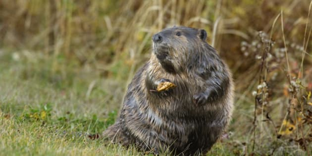Beaver (Castor canadensis) Elk Island National Park, AB