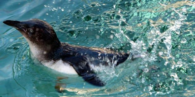Einer von acht Zwergpinguinen (Eudyptula minor ssp. novae hollandiae) schwimmt am Donnerstag, 14. Okt. 2004, in Koeln durch das Pinguin-Becken im Zoologischen Garten. Die etwa 40 Zentimeter grossen, ausgewachsenen Tiere wurden aus dem Zoo in Melbourne (Australien) importiert. Es handelt sich um die kleinste der 18 Pinguinarten. (AP Photo/Hermann J. Knippertz)     --- One of eight, new from Melbourne (Australia) imported, Little Penguins  (Eudyptula minor ssp. novae hollandiae) swims in the penguins pool at the Zoological Garden in Cologne, western Germany, Thursday, Oct.  14, 2004. The full-grown penguins are some 40 centimeters tall and are the shortest of the 18 penguins species. (AP Photo/Hermann J. Knippertz)