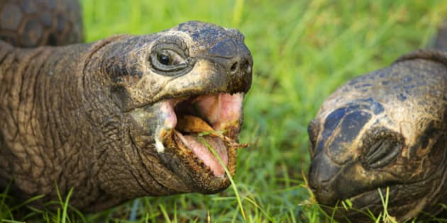 Giant tortoise (Geochelone gigantea). Vulnerable species. . Seychelles islands.