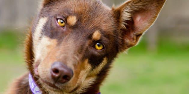 Australian Kelpie, red, working dog, head tilt, grass