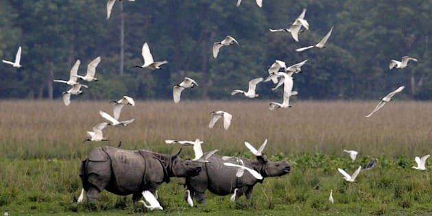 A flock of black-headed ibis fly past a pair of one-horned rhinos at the Pobitora Wildlife Sanctuary, some 45km from Guwahati, the capital city of India's northeastern state of Assam on October 27, 2014. The Kaziranga National Park and the Pobitora Wildlife Sanctuary will be reopening for tourists on November 1 and November 2 respectively. AFP PHOTO/Biju BORO        (Photo credit should read BIJU BORO/AFP/Getty Images)