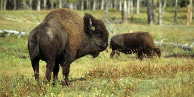 American bison or buffalo (Bison bison), bull, Elk Island Park, Alberta, Canada