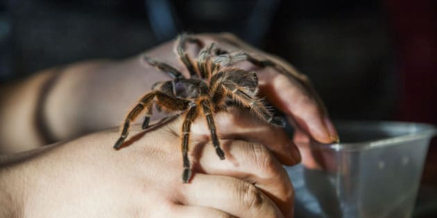 CHANGCHUN, CHINA - NOVEMBER 18: (CHINA OUT) A spider climbs on Tian Jiashi's hands on November 18, 2015 in Changchun, Jilin Province of China. 33-year-old dancing teacher Tian Jiashi has been fascinated and fed scorpions, vipers, centipedes, lizards and spiders at home for seven years in Changchun. Tian sometimes performed swallowing these poisonous creatures onstage even being bit for hundreds of times.  (Photo by ChinaFotoPress/ChinaFotoPress via Getty Images)