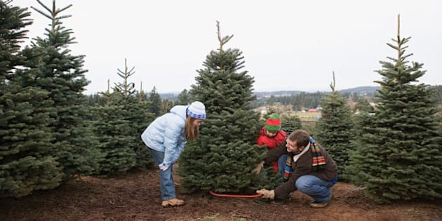 dad cutting christmas tree - How Long Do Real Christmas Trees Last