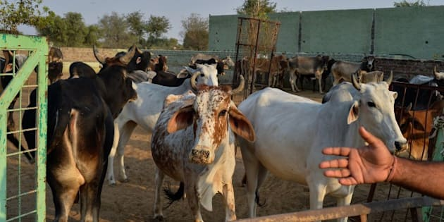 To go with India-politics-religion-beef,FOCUS by Abhaya SRIVASTAVA In this photograph taken on November 5, 2015, cows gather at a cow shelter owned by Babulal Jangir, a rustic self-styled leader of cow raiders, and Gau Raksha Dal (Cow Protection Squad) in Taranagar in the desert state of Rajasthan. Cow slaughter and consumption of beef are banned in Rajasthan and many other states of officially secular India which has substantial Muslim and Christian populations, and almost every night a vigilante squad lie in wait for suspected cattle smugglers, in a bid to enforce the ban.  AFP PHOTO/CHANDAN KHANNA        (Photo credit should read Chandan Khanna/AFP/Getty Images)