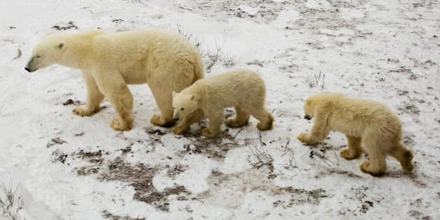 A mother Polar Bear and her cubs wait on the tundra next to the Hudson Bay 14 November 2007 outside Churchill, Mantioba, Canada. Polar Bears return to Churchill, the Polar Bear capital of the world, to hunt for seals on the icepack every year at this time and remain on the icepack feeding on seals until the Spring thaw.   AFP Photo/Paul J. Richards (Photo credit should read PAUL J. RICHARDS/AFP/Getty Images)