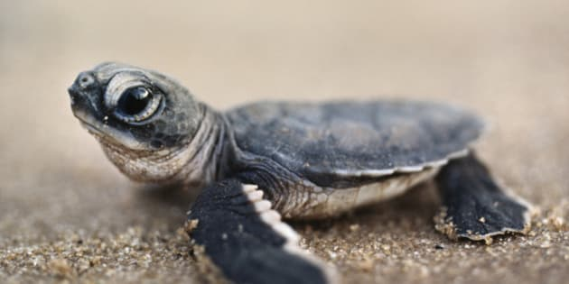 Green sea turtle hatchling, Chelonia mydas, Surinam