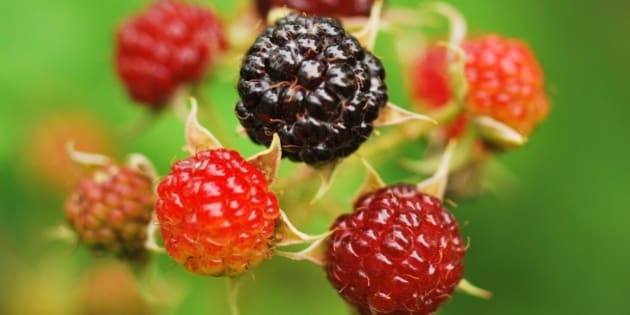 Black Raspberry Reaches Superfood Status Has Huge Health Beneficial Value