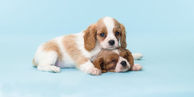 Cavalier King Charles Spaniel Puppies Cuddling