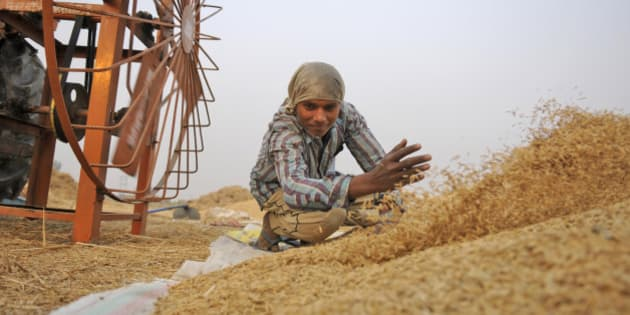 NOIDA, INDIA - NOVEMBER 23: A farmer work in a paddy field as he collects rice stalk from a threshing machine during crop harvesting, on November 23, 2015 in Noida, India. India is one of the world's largest producers of white rice and brown rice, accounting for 20% of all world rice production. Rice is India's pre-eminent crop and is the staple food of the people of the eastern and southern parts of the country. (Photo by Burhaan Kinu/Hindustan Times via Getty Images)
