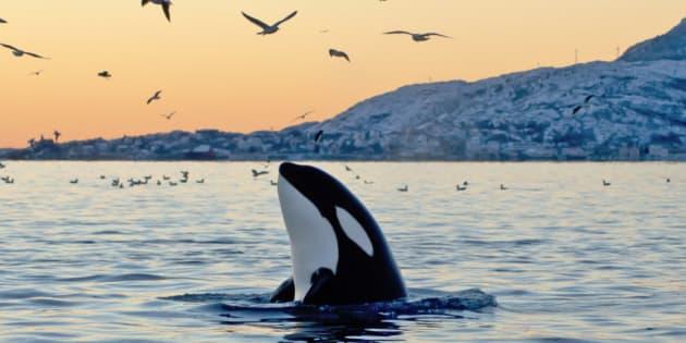 Big Orca Sunset Spyhop
