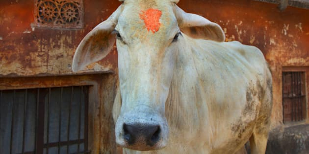 Holy cow wandering near Jaipur monkey temple.