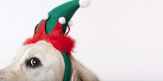 Close up of dog wearing Christmas hat