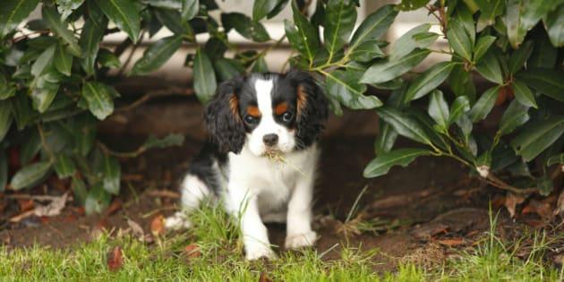 Cavalier King Charles Spaniel puppy eating grass under a shrub