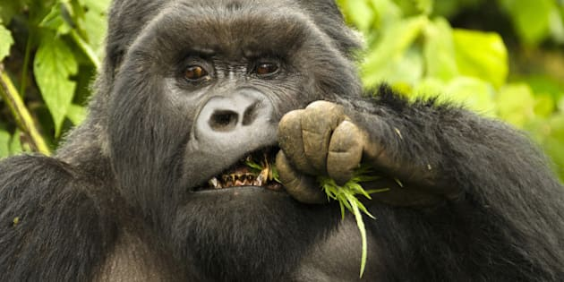 Mountain Gorilla silverback male eating (Gorilla gorilla beringei), Kwitonda Group, Volcanoes National Park, Rwanda