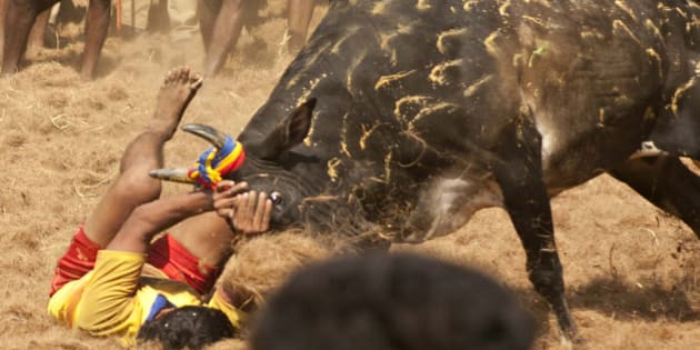 A participant holds back an angry bull during the traditional bull taming festival called 'Jallikattu' in Palamedu near Madurai, around 500km south of Chennai, on January 15, 2013. Jallikattu is a bull taming sport played in Tamil Nadu as part of Pongal celebrations. AFP PHOTO        (Photo credit should read STRDEL/AFP/Getty Images)