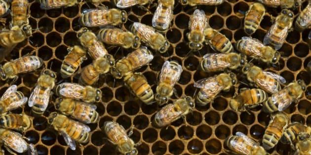 Western honeybee (Apis mellifera)- worker bees and brood chambers, Sudbury, Ontario, Canada.