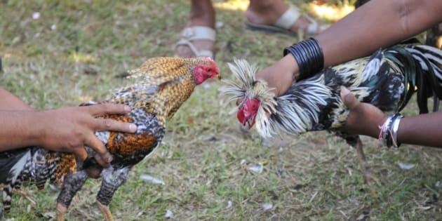 Cockfighting in Bali, Indonesia, Southeast Asia