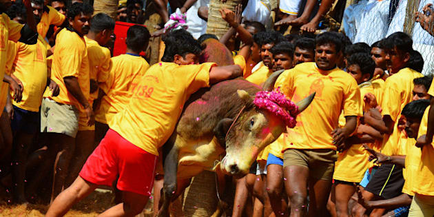 Jallikattu is a bull taming ritual in Tamil Nadu as a part of Pongal celebrations on Mattu Pongal day. Bulls are bred specifically for the event and a specific breed of cattle bred for this purpose. A bull is released in an open ground and the participants try to take control of the animal.