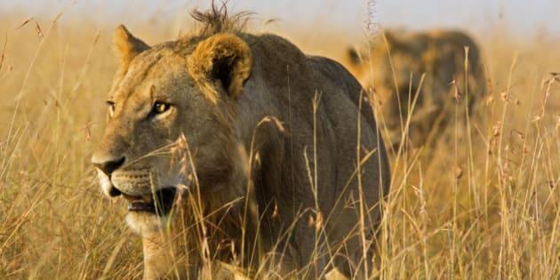 Close up of male lions on the prowl through high grass - Masai Mara, Kenya