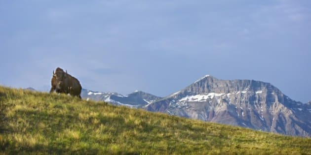 Bison At Waterton National Park With Mountains In The Background