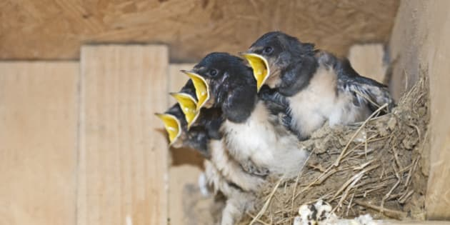 Barn Swallow Hirundo rustica young in nest Cley Norfolk September