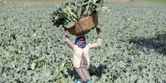 Indian farmer Gomtiben lifts a basket loaded with cauliflowers in a field in Rasalpur village, some 50 km from Ahmedabad, on January 26, 2016.  AFP PHOTO / Sam PANTHAKY / AFP / SAM PANTHAKY        (Photo credit should read SAM PANTHAKY/AFP/Getty Images)