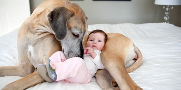 A baby girl sits against a Great Dane on a bed.