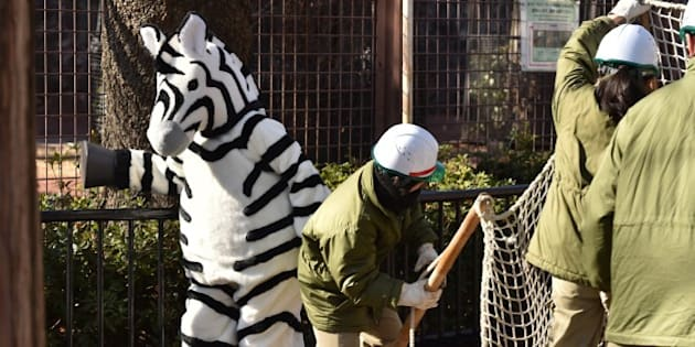 CORRECTION - YEAR  A zoo keeper dressed in a zebra (L) takes part in a drill to practice what to do in the event of an animal escape at the Ueno Zoo in Tokyo on February 2, 2016.  About 150 zookeepers participated in the annual drill.    AFP PHOTO / KAZUHIRO NOGI / AFP / KAZUHIRO NOGI        (Photo credit should read KAZUHIRO NOGI/AFP/Getty Images)