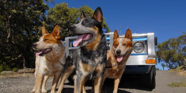 Three Australian Cattle Dogs, one Blue Heeler, two Red Heelers in front of blue and silver ute. Australia.