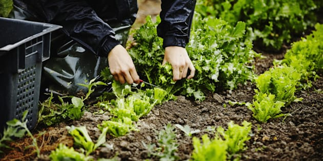 Farmers hands harvesting organic lettuce cutting base of stems