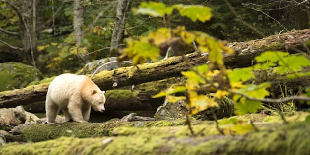 The Kermode Bear (Ursus americanus kermodei) is one of the rarest bears in the world. It is a black bear that has a white/creamy fur, which is produced by a recessive gene. He lives principally in the central and north coast of British Columbia in Canada.Great Bear Rainforest, British Columbia, Canada