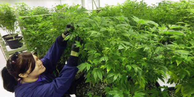 """FILE - In this  Sept. 15, 2015 file photo, Ashley Thompson inspects marijuana plants inside the """"Mother Room"""" at the Ataraxia medical marijuana cultivation center in Albion, Ill. Illinois' pilot medical cannabis program was selected as one of the top ten stories in Illinois for 2015. (AP Photo/Seth Perlman, File)"""
