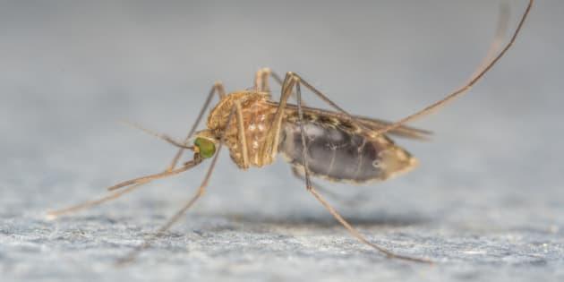 A Macro photo of a MosquitoA Macro photo of a Mosquito