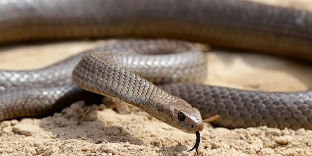 A deadly Australia eastern brown snake -- which has enough venom to kill 20 adults with a single bite -- is photographed in the Sydney suburb of Terrey Hills on September 25, 2012., in the Sydney on October 3, 2012.  Australia is home to 20 of the world's 25 most venomous snakes, including the entire top 10, from which a single scratch from a venom-coated tooth can be enough to paralyse the heart, diaphragm and lungs.  Several species are found in urban areas along the populous east coast.  According to official estimates there are about 3,000 snake bites in Australia every year, 300-500 of which will receive anti-venom treatment. An average of two will prove fatal.  AFP PHOTO/William WEST        (Photo credit should read WILLIAM WEST/AFP/Getty Images)