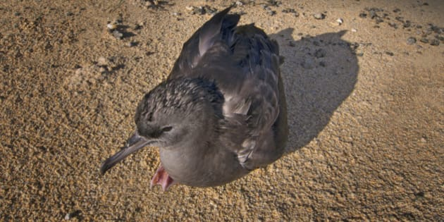 Flesh footed Shearwater chick resting on the beach at Lord Howe Island