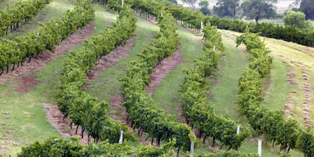 (AUSTRALIA & NEW ZEALAND OUT) Generic vineyard picture, Hunter Valley, 29 January 2005. AFR Picture by JIM RICE (Photo by Fairfax Media via Getty Images)