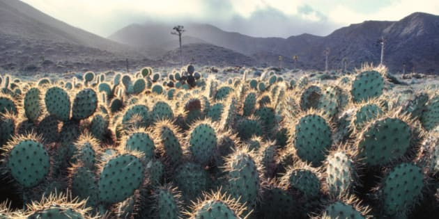 Cacti, Opuntia cacti, on Cedros Island, Baja California, Mexico
