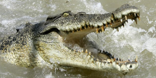 A large saltwater crocodile shows aggression as a boat passes by on the Adelaide river 60 kilometers (35 miles) from Darwin in Australia's Northern Territory, Saturday, Oct. 15, 2005. Crocodiles are a large very aggressive carnivore with adult males reaching sizes of up to 6 or 7 meters (20 to 23 feet), and females being smaller at 2.5  to 3 meters (8 to 10 feet). These ancestors of the long extinct dinosaurs are a territorial animal that have been known to attack small boats and killing people.(AP Photo/Rob Griffith)