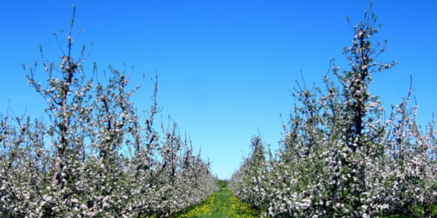 The fruit trees are in bloom all over Kent County.  These are apple, I think.